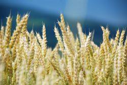 MATIF - giełda zbóż