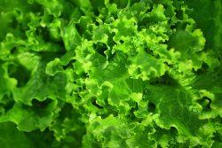 uprawa sałaty