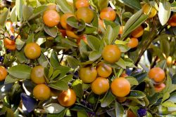 uprawa mandarynek