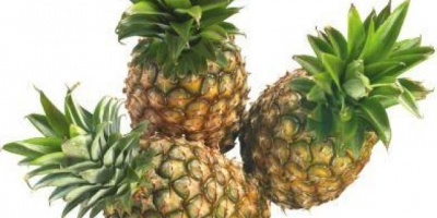 Fresh pineapples for  sale Whatsapp +31657414990  All  varieties please contact us via e-mail or whatsApp for more information.